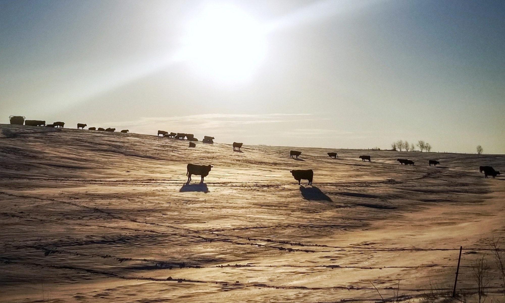 Bosch Farms - Limousin Cattle